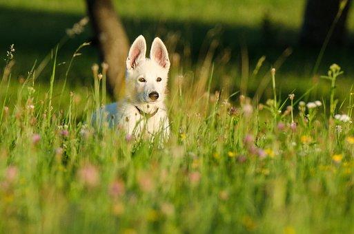 Schäfer Dog, White Shepherd, Puppy, Animal Children