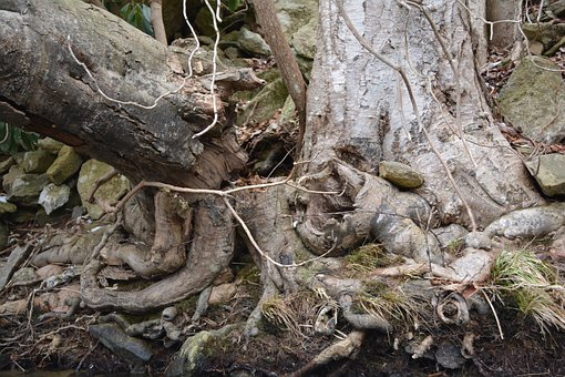Root, Gnarly, Tree Roots, Tree, Organic, Agriculture