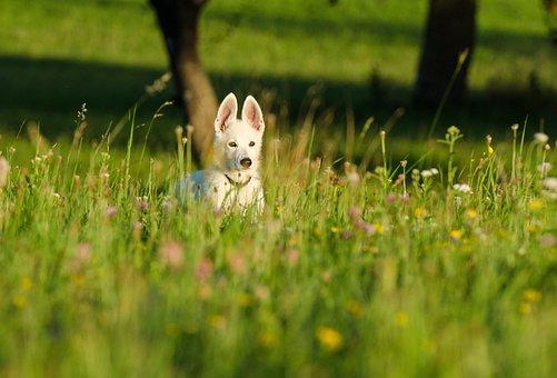 Dog Puppy Flower Meadow, Flower Meadow, Small Dog