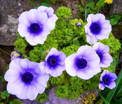 White-blue Anemone, Wind Flower, Spring Flower, Garden