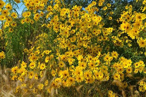 Flowers, Yellow, Black Eye Susan, Summer, Plant