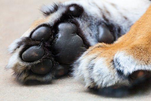 Tiger, Paw, Animal, Claw, Fur, Cat, Wildlife, Foot