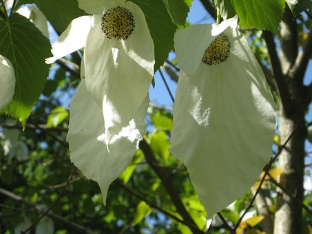 Tree, Handkerchief Tree, Leaf, Blossom, Bloom, Nature