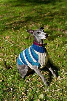 Whippet, Dog, Jacket, Blue, Jumper, Vest, Sitting