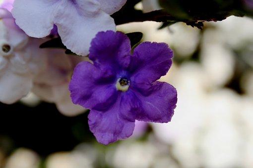 Brunfelsia, Tri-color, Dark Purple, Lavender, White