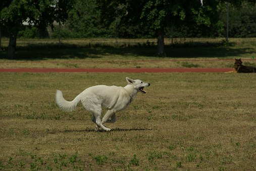 White Swiss Shepherd, Dog, Animal, Competition