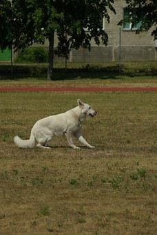 White Swiss Shepherd, Dog, Obedience, Competition