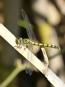 Dragonfly, I Tiger, Yellow And Black, Winged Insect