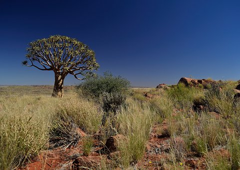 Quiver Tree, Tree, Quiver, Africa, African, Desert