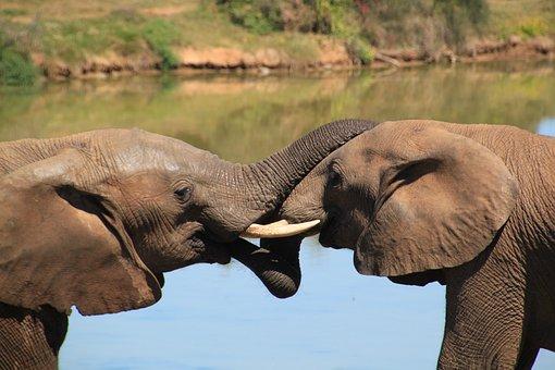Elephant, African Bush Elephant, National Park, Safari