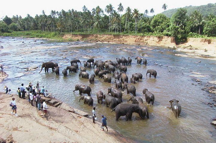 Sri Lanka, Pinnawella, Elephants, Water, Animal