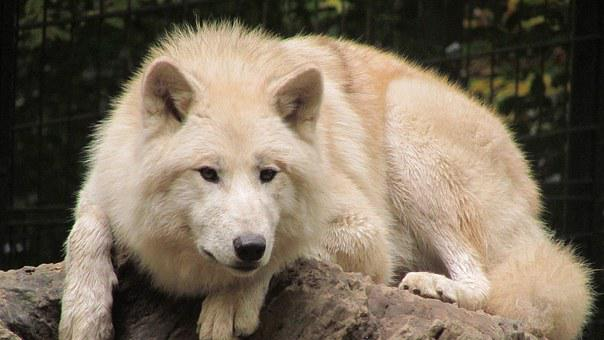 Wolf, Wuppertaler Zoo, White Fur, Zoo, Animal, Predator