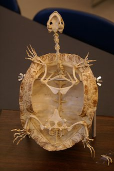 Turtle, Skeleton, Fossil, Animal, Reptile, Close-up