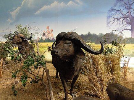Buffalo, Affalo, Cape Buffaloes, Animals, Models