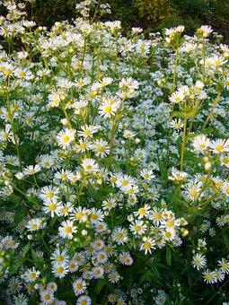 September Herb, Blossom, Bloom, White, Tender, Small