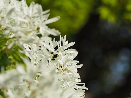 Tree Nan'm Monjya, Chionanthus Retusus