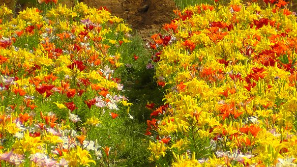 Colorful, Colored, Field Of Flowers, Color, Flora