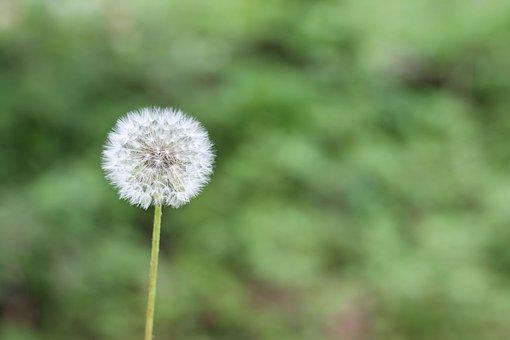 Dandelion, Green, Spring, Flower, Allergy, Plant