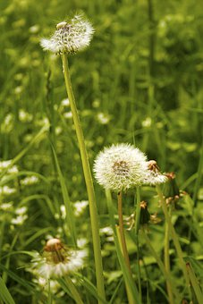 Dandelion, Rabbit Food, Transience, Summer, Pollen