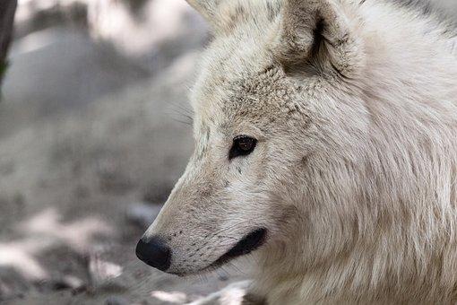 Animal, Arctic, Danger, Dangerous, Eyes, Face, Fur