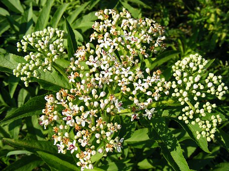 Danewort, Ebulus, Elder, Flowers, Herbaceous, Sambucus