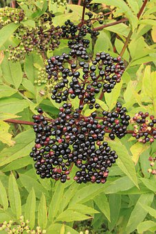 Berries, Black, Danewort, Ebulus, Elder, Sambucus