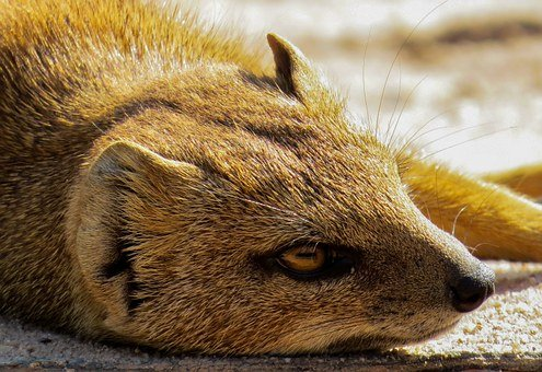 Fuchsmanguste, Small, Eye, Head, Face, Yellow