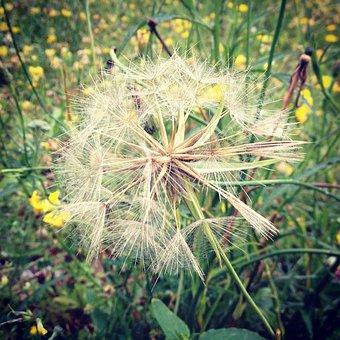 Dandelion, Flower Meadow, Nature, Meadow, Flowers