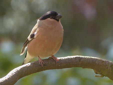 Bird, Bullfinch, Female, Garden, Branch, Foraging