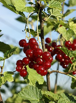 Redcurrant, Fruit, Healthy, Fresh, Red, Organic, Eating