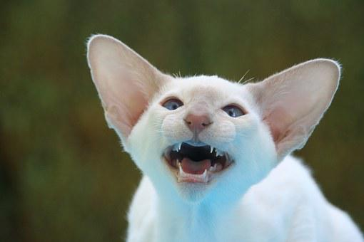Siamese Cat, Hiss, Ears, Big Ears, Snappy, Cat, Fur