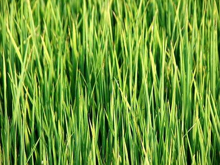Taiwan, In Rice Field, Grass, Green, Nature