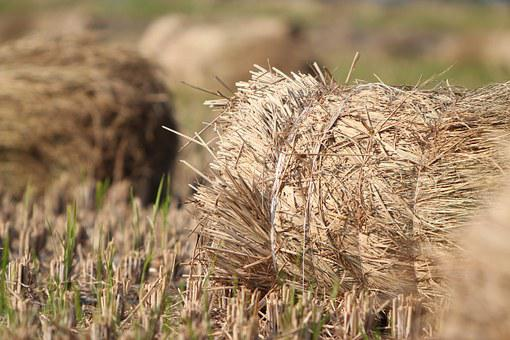 Natural, In Rice Field, Harvest, Avignon, Farm Products