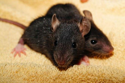 Rat, Rat Babies, Black, Young, Helpless, Fur, Cute
