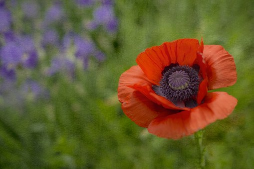 Poppy, Irises, Iris, Flower, Summer, Floral, Plant
