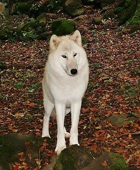 White Wolf, Kasselburg, Germany