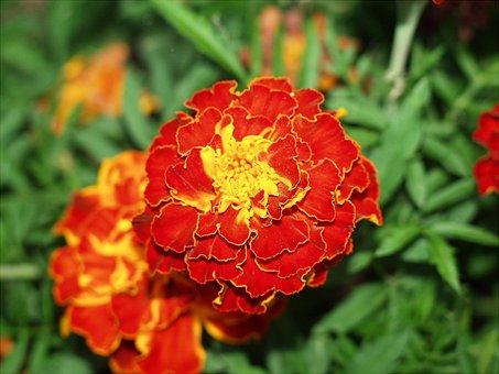 Marigold, Flower, Plant, Bloom, Vibrant, Gardening, Red
