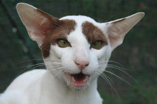Cat, Hiss, Ears, Oriental Shorthair, Cozy, Closeness