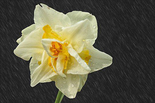 Narcissus, Raindrop, Rain, Narcissus Pseudonarcissus