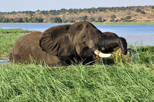 Elephant, Water Elephant, Reed, River, Water, Chobe