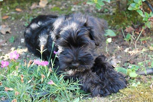 Dog, Puppy, Animal, Schnauzer Nano