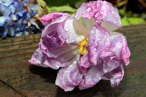 Faded, Tulip, Double Stuffed, Schnittblume, Blossom