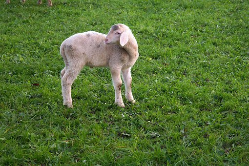 Lamb, Sheep, Animal, Pasture, Happy, Cheerful