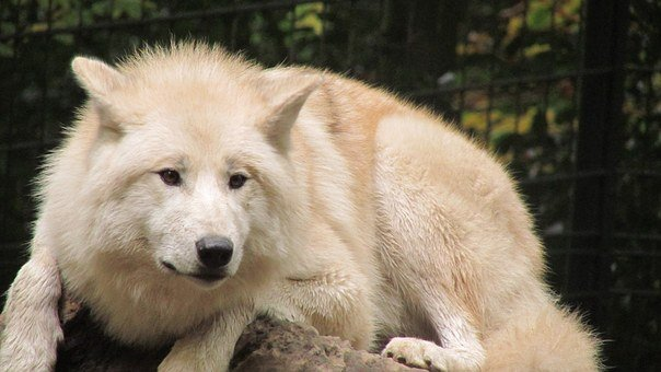 Wolf, Wuppertaler, Zoo, White Fur