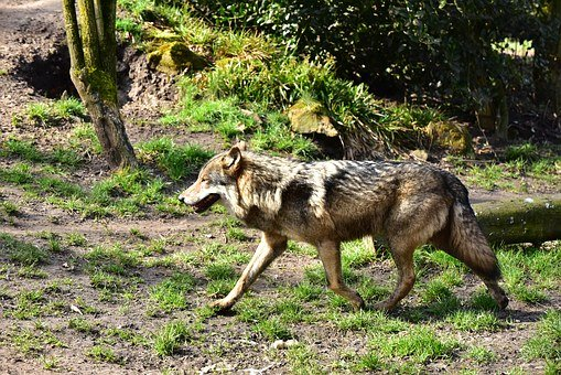 Wolf, Run, Animal Portrait, Area, Brown, Animal