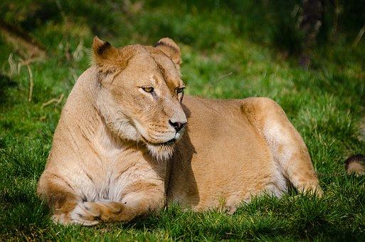 Animal, Animal Photography, Beast, Big Cat, Carnivore