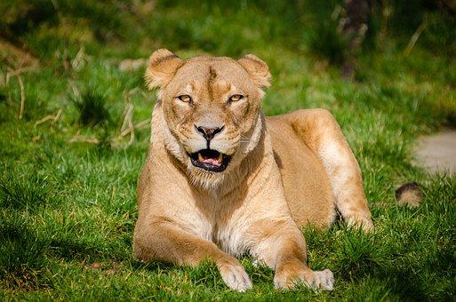 Animal, Big Cat, Grass, Lion, Wild Cat, Wildlife