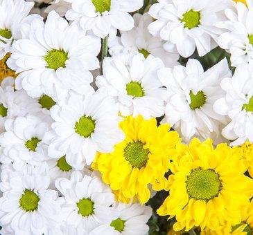 Blooming, Chrysanthemum, Bloom, Blossom, Botany