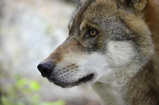 Wolf, Head, Predator, Portrait, Close Up, Creature