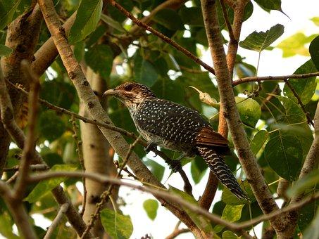 Cuckoo, Koel, Asian, Fauna, Bird, Common, Female